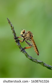 Asilidae adalah famili lalat yang dikenal akan sifatnya yang agresif. Lalat dalam famili ini biasanya memakan serangga lain dan menyergap mangsanya secara diam-diam