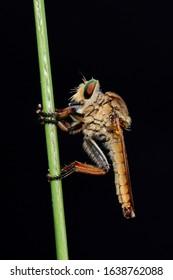 Asilidae adalah famili lalat yang dikenal akan sifatnya yang agresif. Lalat dalam famili ini biasanya memakan serangga lain dan menyergap mangsanya secara diam-diam.