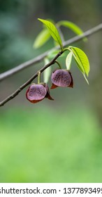 Asimina triloba, the papaw, among many regional names, is a small deciduous tree producing a large, yellowish-green to brown fruit. It belongs to the genus Asimina.