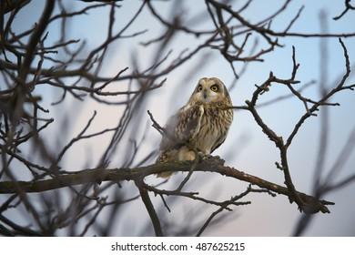 Asio flammeus, Short-eared Owl perched on branch against colorful sky. Autumn, wintering bird of prey. Wildlife, Czech republic, Moravia.