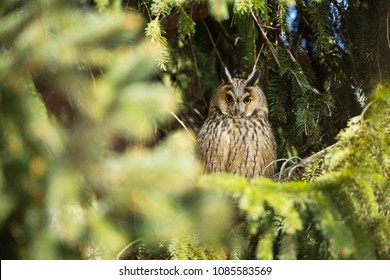 Asio otus. Wild nature. Beautiful photo. Owl on the tree. Free nature. From bird life. Wildlife of the Czech Republic. Owl on the photo. Spring.
