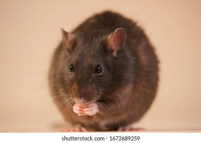 Aska the rat on table