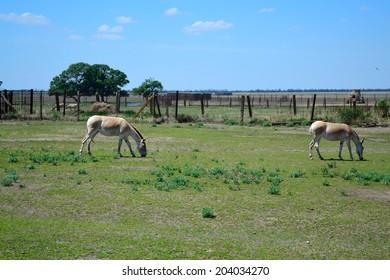 ASKANIA-NOVA, KHERSON REGION, UKRAINE - JULY 1, 2014: animals in the zoo of Ukrainian worldwide famous Askania-Nova reserve, member of the World Network of Biosphere Reserves of UNESCO. Mule.
