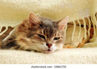 asleep cat under blanket