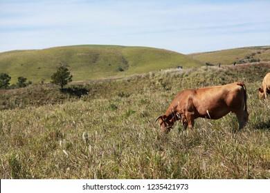 Aso cow in Kumamoto, Japan