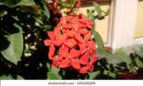 Asoka flower or King Ixora flower chinensis. Red spike flower, Rubiaceae, Ixora coccinea, soka with green leaf isolated on home park