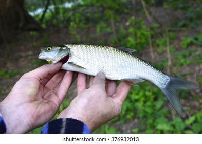 Asp (Aspius aspius) Fish in hand fisherman closeup.