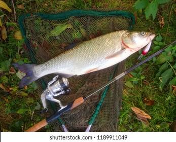 The Asp fish - Aspius Aspius. Fishing catch of predatory fish.