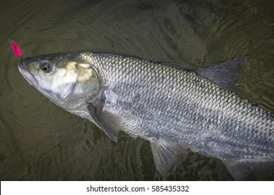 Asp fish (aspius) in water