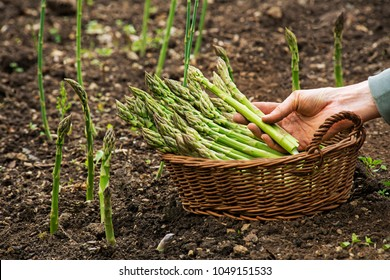 Asparagus. Fresh Asparagus. Green Asparagus. Picking asparagus to the basket.