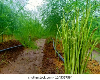 Asparagus or garden asparagus, scientific name Asparagus officinalis, is a spring vegetable, a flowering perennial plant species in the genus Asparagus, agriculture.