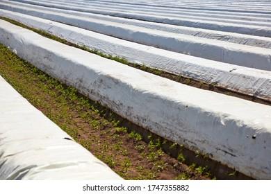 Asparagus grows in a field under plastic foils.