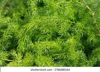 Asparagus racemosus(satavar,shatavari, orshatamull,shatawari) leaves. Shatavari is important in traditionalAyurvedic medicine herb.