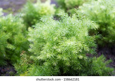 Asparagus racemosus Willd (Shatavari) is recommended for the prevention and treatment of gastric ulcers, dyspepsia and as a galactogogue