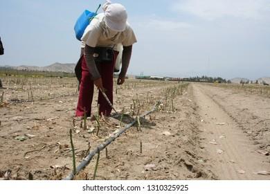Aspargus harvest Peru