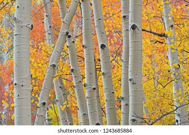 Aspen Boles and Colors