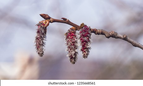 Aspen catkins on branch with bokeh background macro, selective focus, shallow DOF
