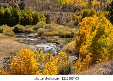Aspen in fall along a Sierra stream.