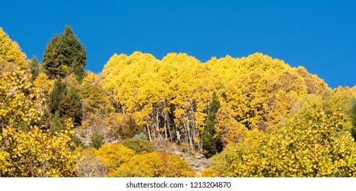 Aspen in fall near June Lake, California, USA