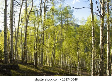 Aspen forest lit with late afternoon sunlight with long shadows, in the Colorado Rocky Mountains