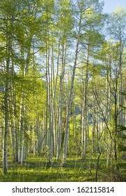 Aspen forest on flat ground in late afternoon sunlight