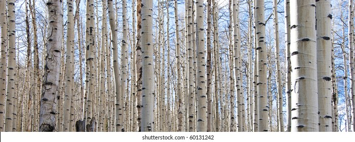 Aspen forest in the Rocky Mountains in Colorado in early spring when the leaves still haven't come out yet.