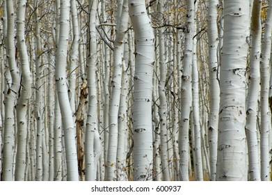 Aspen forest, tree trunks