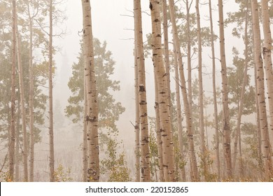 aspen forest trees  in colorado