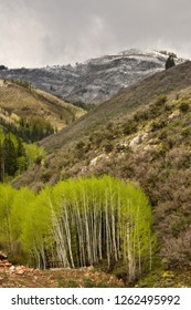Aspen grove with bright green spring growth, and a dusting of snow