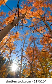 Aspen grove with fall colors and blue sky
