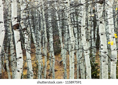 Aspen Grove with no Leaves