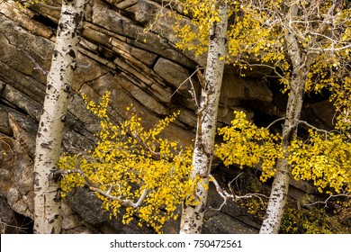 Aspen growing by granite cliff.
