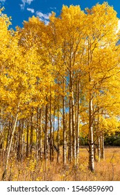 Aspen Leaves Changing Colors in Golden Gate State Park
