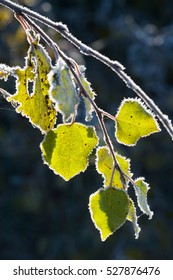 Aspen leaves covered with frost. Seasonal nature concept.