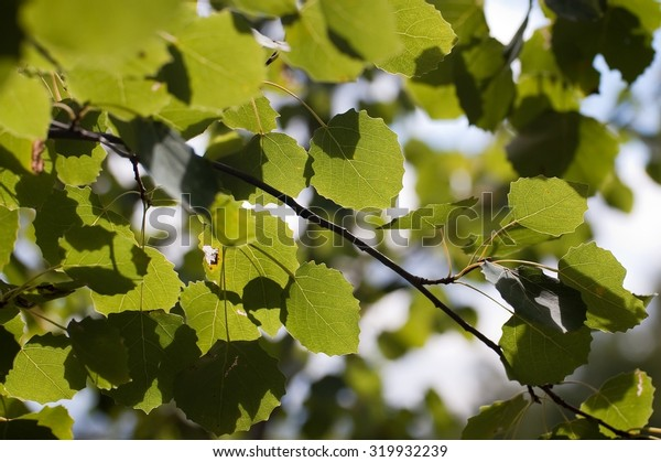 Aspen leaves in a sunny autumn day in Russia
