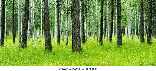 An aspen and pine tree forest in a green grass meadow near Sisters, Oregon