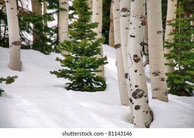 Aspen and Pine Trees Surrounded by Snow