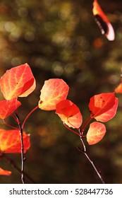 Aspen (Populus tremula) scarlet autumn foliage in the sunny deciduous forest