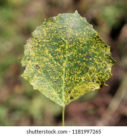 Aspen rust (Melampsora populnea) on green leaf of Populus tremula or Common aspen