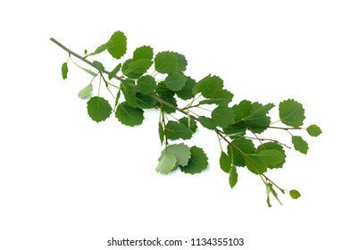 Aspen tree branch with green leaves isolated on white background.