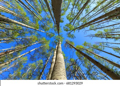 Aspen tree canopy green foliage with blue sky