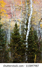 Aspen Tree Growing through some Pines Dusted with Yellow Leaves