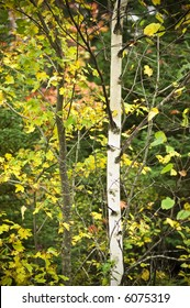 Aspen tree in Nova Scotia, Canada