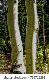 Aspen tree trunks in light and shade.