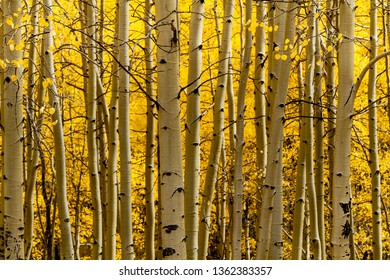Aspen tree trunks in morning light with changing yellow leaves in aspen tree grove