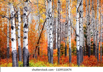 Aspen trees in Banff national park in autumn time