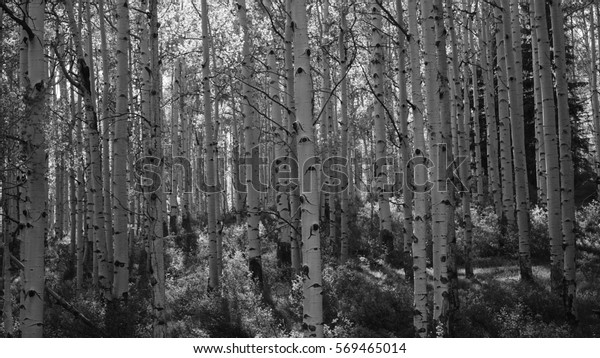 Aspen Trees Black and White Aspens Texture