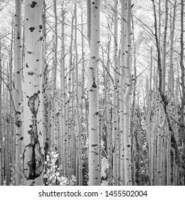 Aspen Trees Black and White Santa Fe, New Mexico