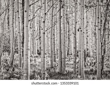 Aspen trees in black and white, Steamboat Springs Colorado