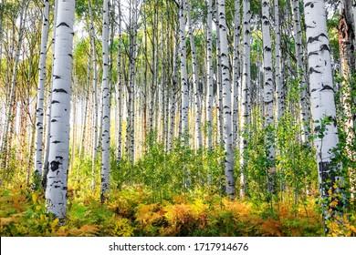 Aspen-Bäume in Colorado-Felsbergen